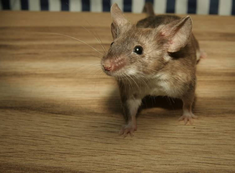 How to Get Rid of Mice in Apartment